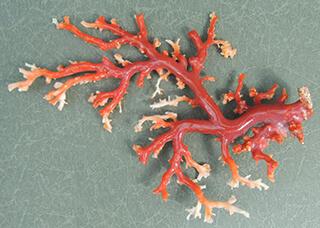 価値ある珊瑚とは?